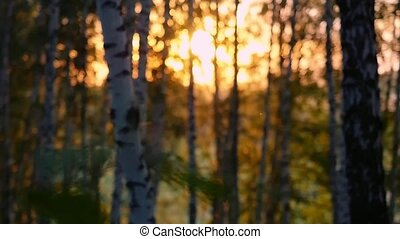 birch trees in a summer forest during sunset in slowmotion....