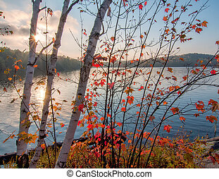 Birch Trees in Autumn Colors In front of Lake