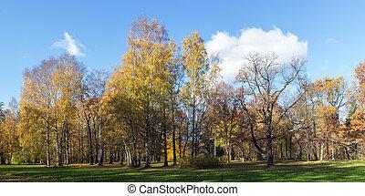 birch trees in autumn park