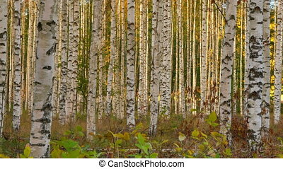 birch trees in autumn, Sweden