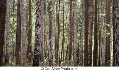 Birch trees in bright sunshine trunks of birch trees in birchwood. Birchwood shined with the sun. Peace and quiet in a birch grove. Beautiful birch forest delight with its beauty and grandeur.