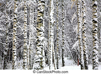 Birch trees in snow covered winter forest
