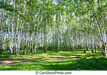 Birch trees in summer