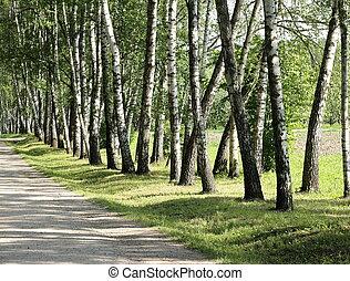 Birch trees in summer day