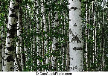 Birch trees in summer forest