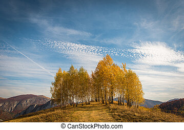 Birch trees in the autumn