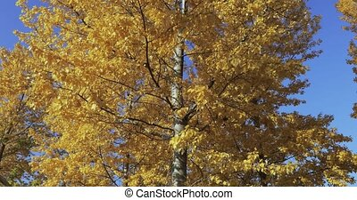 Birch trees in the fall - Yellow birch leaves in the light...