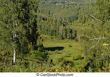 birch trees in the summer in Altai