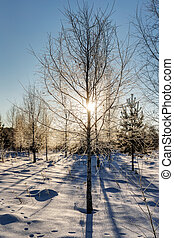 birch trees in the winter forest