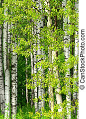 Birch trees in the wood