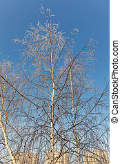birch trees on a cold day