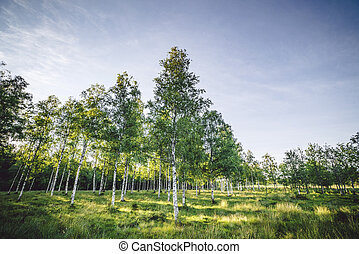 Birch trees on a green field in the spring