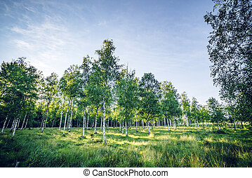 Birch trees on a green meadow in the spring