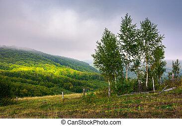 birch trees on a hillside in autumn - birch trees behind the...