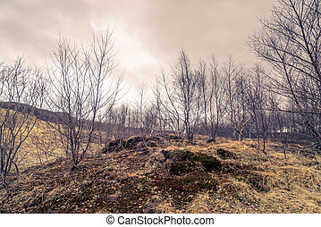Birch trees on a meadow