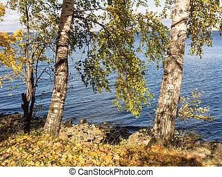 birch trees on the seashore