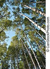 Birch trees perspective
