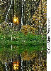 birch trees reflected in water