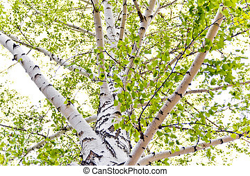 Birch trees - Summer photo with foliage of birch trees