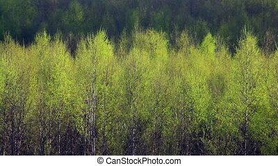 Birch trees swinging in the wind