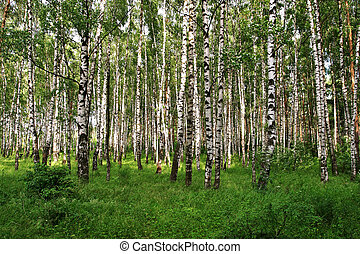 Birch trees view
