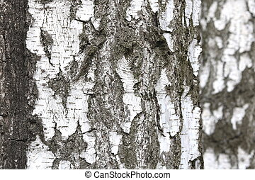 Birch trees with black and white birch bark