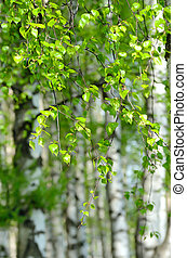 Birch trees with green leaves