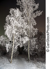 Birch trees with rime frost