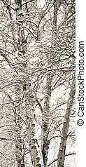 Birch trees with snow in winter
