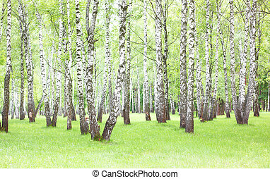 birch trees with white bark in spring in birch grove