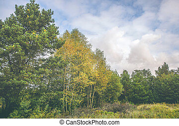 Birch trees with yellow leaves in a rural landscape