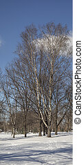 Birch trees without leaves in winter on a background of blue sky