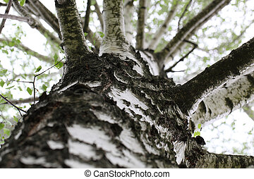 birch trunk and branches of birch close up