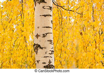 Birch trunk and vibrant yellow leaves