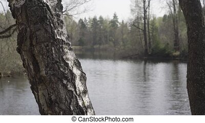 Birch trunk on the river Bank