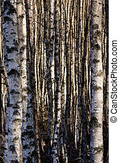 Birch trunks in a dense forest, lit by evening sunlight.