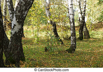 Birch trunks in a forest.