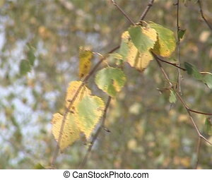 Birch twig with leaves moving in the wind. Natural autumn scene.