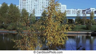 Birch with yellow leaves on the bank of the pond in the...