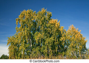 Birch with yellowed leaves
