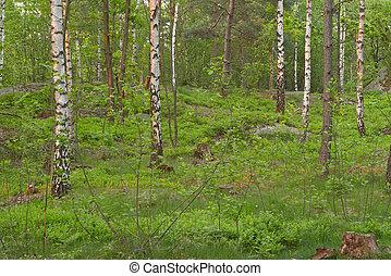 Birch wood at late spring, Delsjön nature reserve area, Göteborg, Sweden