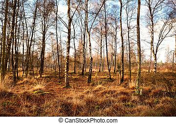 birch-wood forest in autumn, Dwingelderveld National Park in...