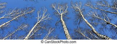 Birch wood in spring