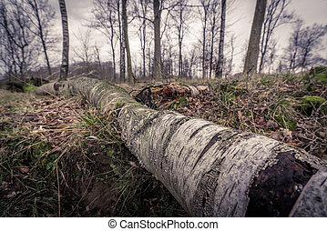Birch wood in the forest