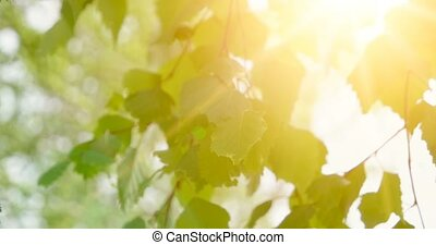 Birch young bright leaves in front of day sun. Leaves of birch in sunny day with sun blinking. Organic or eco concept.
