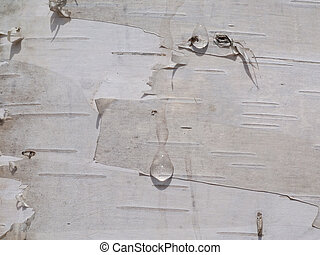 Birchbark with drops of juice 3 - A close up of the...