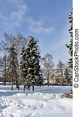 birches and firs covered with fresh snow in the city Park in the winter frosty morning