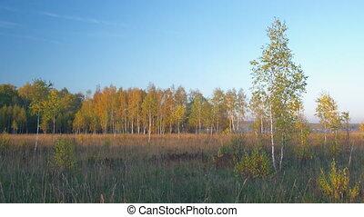 Birches autumn forest panning