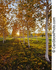 Birches backlit by the setting sun