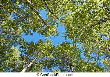 Finnish birch plantation